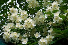 chiuda sul fiore di fioritura del gelsomino sul cespuglio in giardino, fuoco selezionato immagini stock