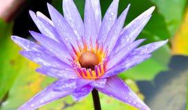 Chiuda sul fiore di loto Immagini Stock
