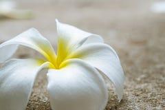 Chiuda sul fiore di plumeria Fotografia Stock
