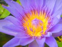 Chiuda sul fiore di porpora di Lotus Fotografia Stock Libera da Diritti