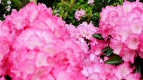 Chiuda sul fiore di rododendro rosa La macchina fotografica si spost indietroare sul cursore Correzione di colore archivi video