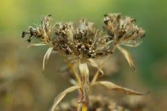 Chiuda sul fiore di secchezza Fotografie Stock