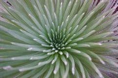 Chiuda sul fiore di silversword in Maui Hawai Fotografia Stock