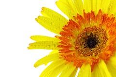 Chiuda sul fiore giallo della gerbera Fotografia Stock