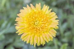 Chiuda sul fiore giallo della gerbera per fondo Fotografia Stock Libera da Diritti