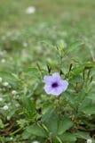 Chiuda sul fiore porpora di Ruellia (erecta di Hygrophila) Immagine Stock Libera da Diritti