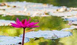 Chiuda sul fiore rosa della ninfea nello stagno Fotografie Stock Libere da Diritti