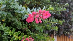 Chiuda sul fiore rosso-chiaro Immagine Stock Libera da Diritti
