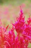 Chiuda sul fiore rosso o sul celosia della lana Fotografia Stock Libera da Diritti