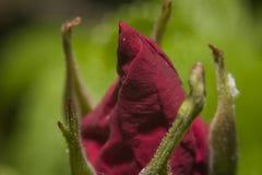Chiuda sul fiore rosso unbloomed Immagini Stock Libere da Diritti