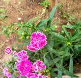 Chiuda sul fiore variopinto del Dianthus in giardino fotografia stock libera da diritti