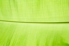 Chiuda sul foglio della banana Fotografia Stock Libera da Diritti