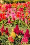 Chiuda sul fondo dei fiori Punto di vista stupefacente dei tulipani rossi variopinti Immagine Stock Libera da Diritti