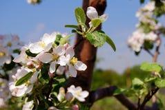 Chiuda sul fondo del fiore della mela Immagine Stock