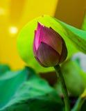 Chiuda sul fondo del fiore di Lotus Fotografia Stock Libera da Diritti