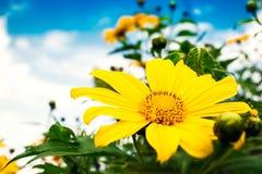 Chiuda sul fondo di fioritura della natura dei fiori messicani Immagine Stock
