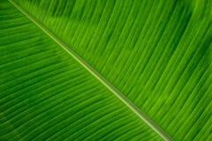 Chiuda sul fondo verde della foglia della banana con le belle linee naturali fotografia stock