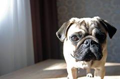 Chiuda sul fronte del cane sveglio del carlino che sta sulla tavola immagine stock libera da diritti