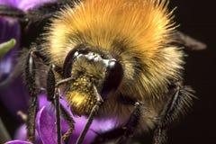 Chiuda sul fronte dell'ape con le antenne ed il polline Immagine Stock