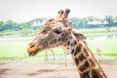 Chiuda sul fronte della giraffa Immagini Stock Libere da Diritti