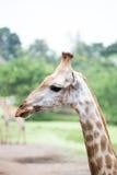 Chiuda sul fronte della giraffa Fotografie Stock