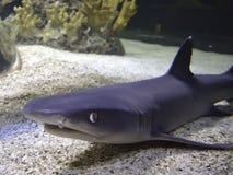 Chiuda sul fronte di uno squalo Fotografia Stock Libera da Diritti