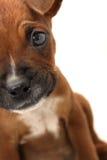 Chiuda sul fronte frontale del cucciolo del pugile Fotografia Stock