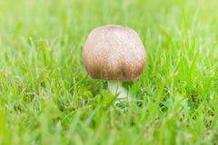 Chiuda sul fungo su erba verde Fotografia Stock Libera da Diritti
