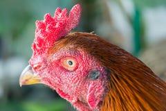 Chiuda sul gallo capo con la cresta rossa Fotografia Stock