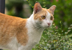 Chiuda sul gatto domestico rosso Immagine Stock