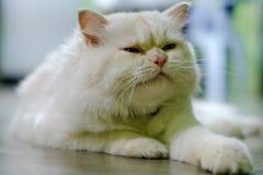 Chiuda sul gatto persiano bianco sveglio del fronte fotografie stock