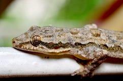 Chiuda sul gecko immagine stock