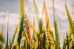 Chiuda sul giovane orecchio della punta di riso che cresce nel campo di verde della risaia della piantagione Immagini Stock