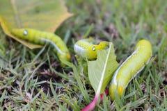 Chiuda sul grande verme verde tre che mangia la foglia su erba Fotografie Stock Libere da Diritti