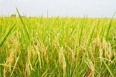 Chiuda sul grano di tho dell'azienda agricola del riso, Tailandia Immagine Stock
