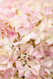 Chiuda sul hydenyia rosa Fotografia Stock