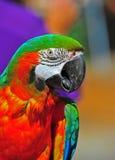 Chiuda sul Macaw capo abbastanza verde Fotografie Stock Libere da Diritti