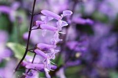 Chiuda sul macro fiore del trifoglio pratense Fotografie Stock