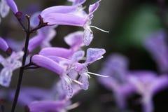 Chiuda sul macro fiore del trifoglio pratense Fotografia Stock