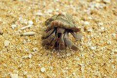 Chiuda sul macro soldato-granchio, Sri Lanka Fotografie Stock