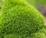 Chiuda sul muschio verde fertile del velluto con fondo defocused Immagine Stock