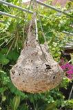 Chiuda sul nido del calabrone che appende sull'albero Fotografia Stock