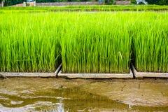 Chiuda sul nuovo campo di risaia nel Nord della Tailandia Immagini Stock