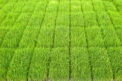 Chiuda sul nuovo campo di risaia nel Nord della Tailandia Fotografie Stock