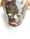Chiuda sul pesce del ghiozzo Fotografia Stock