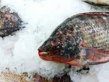 Chiuda sul pesce di tilapia di fresness che mette sul ghiaccio Fotografia Stock Libera da Diritti