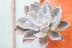 Chiuda sul petalo succulente, bello in natura Fotografie Stock