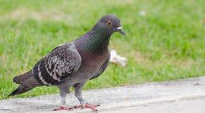 Chiuda sul piccione Immagini Stock