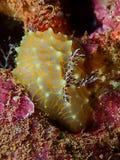 Chiuda sul pizzo Nudibranch Hawai subacquee dell'oro immagine stock