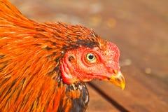 Chiuda sul pollo Immagini Stock